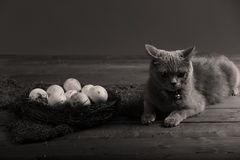 Chicken eggs and a cat. Dirty farm eggs in a small nest, British Shorthair kitten Stock Photography