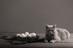 Chicken eggs and a cat. Dirty farm eggs in a small nest, British Shorthair kitten Royalty Free Stock Image