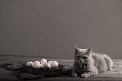 Chicken eggs and a cat Royalty Free Stock Photography