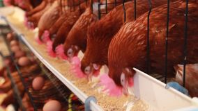 Chicken eggs and chickens eating food . stock video footage