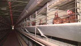 Chicken eggs and chickens eating food in farm stock video