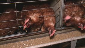 Chicken eggs and chickens eating food in farm stock footage