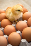 Chicken and eggs Royalty Free Stock Images