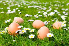Chicken eggs in grass with daisies Royalty Free Stock Images