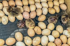 Chicken eggs with hatching small chickens in an incubator. Chicken eggs with hatching small chickens in a home farm incubator royalty free stock photos