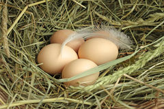 Chicken eggs on hay Stock Image