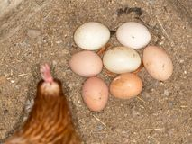 Chicken eggs in the henhouse Royalty Free Stock Photography