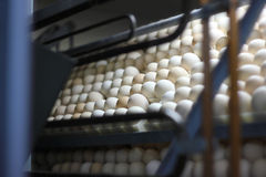 Chicken eggs in incubator Royalty Free Stock Image