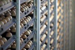 Chicken eggs. In incubator, farm hatchery Stock Photography