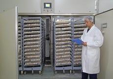 Chicken eggs in incubator. Farmer controls chicken eggs in incubator Royalty Free Stock Image