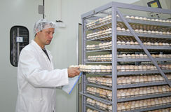 Chicken eggs in incubator Royalty Free Stock Images