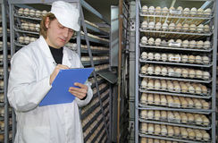 Chicken eggs in incubator Stock Images
