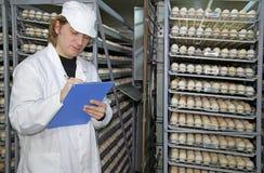 Chicken eggs in incubator. Farmer controls chicken eggs in incubator Stock Images
