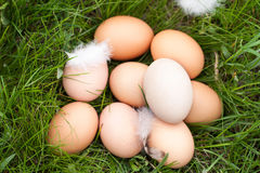 Chicken eggs lying in a nest of green grass Stock Photography