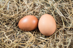 Chicken eggs. In the nest Stock Images