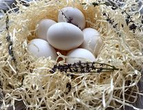 Chicken eggs in the nest. Beautiful white eggs. stock image