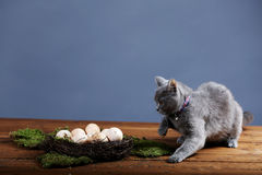 Chicken eggs in the nest and a cat Stock Photography