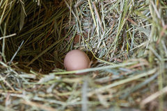 Chicken eggs in a nest of hay Stock Image