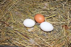 Chicken eggs in the nest. Stock Photo