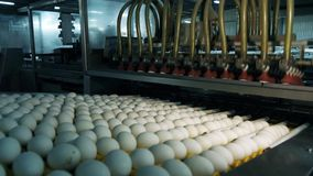 Chicken eggs at the poultry farm. farm, industry.  royalty free stock images