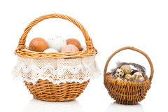 Chicken eggs and quail eggs in basket Royalty Free Stock Photo