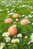 Chicken eggs in spring grass with daisies Royalty Free Stock Photos