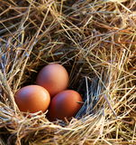 Chicken eggs in the straw Stock Photography