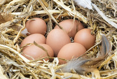 Chicken eggs in straw nest. Large brown and white freshly laid chicken eggs in a straw nest Stock Photo