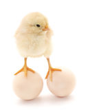 Chicken and eggs. Royalty Free Stock Image