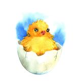 Chicken in the eggshell. Watercolor Royalty Free Stock Images