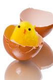 Chicken and eggshell Royalty Free Stock Photo