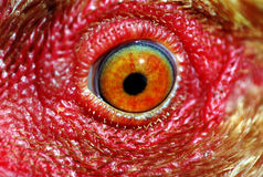 Chicken eye. Macro of chicken eye Royalty Free Stock Photos