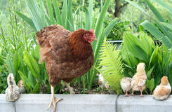 Chicken family on. Green lawn Stock Images