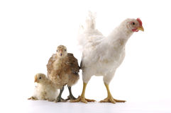 Chicken family. Isolated chicken family on white background Royalty Free Stock Photos