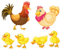 Chicken Family Royalty Free Stock Photography