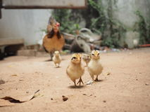 Chicken family,chicks,hen,country side, Thailand Stock Image