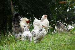 Chicken Family royalty free stock photo