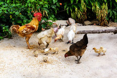 Chicken family eating paddy Stock Photography