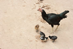 Chicken family Stock Photos