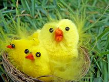 Chicken family in the nest. Easter decoration with yellow cute chickens in the nest Stock Image
