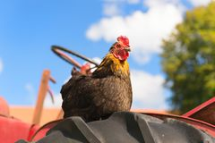 Chicken at the farm Royalty Free Stock Photography