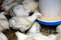 Chicken farm. Feeding chickens fattened on the chicken farm Stock Photos