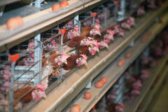 Chicken farm Stock Image