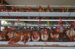 Chicken farm Royalty Free Stock Images