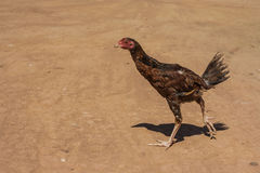 Chicken in a farm Royalty Free Stock Photo