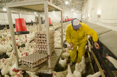 Chicken farm Stock Photo