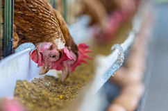 Chicken farm. Royalty Free Stock Images