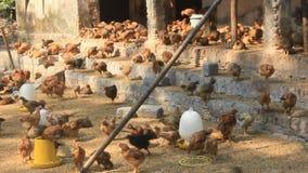 Chicken farm stock video