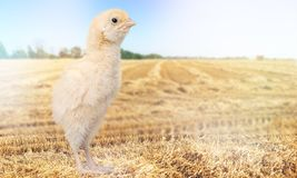 Chicken. Farm agriculture animal aviculture baby beak Royalty Free Stock Images