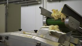 Chicken Farm. Agriculture. stock video footage